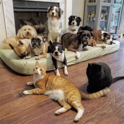 a group of many dogs sitting on a bed in front of cats laying on the floor