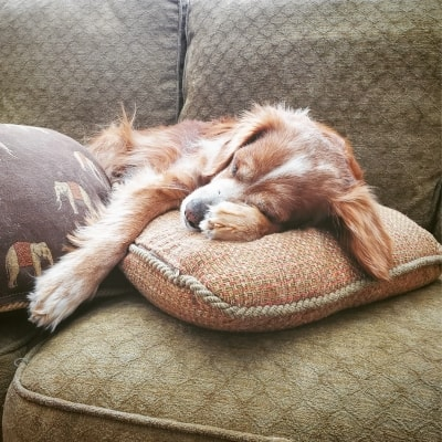 a brown dog sleeping on a couch with his head on a pillow