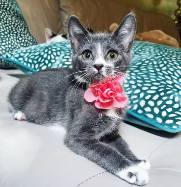 grey and white kitten wearing a pink flower collar